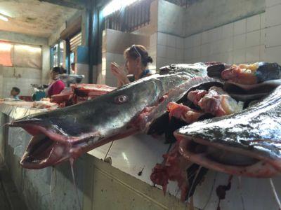 Paiche und andere Fische