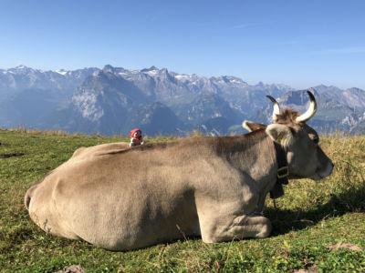 Fronalpstock SZ: Auf Du und Du mit der Kuh
