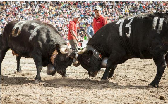 Aproz (VS): Kühe im Kampf