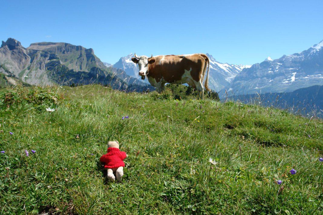 Teddybär im Gras vor Alpenkulisse und weidender Kuh