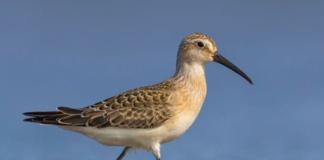 teddy-b.ch - Watvögel - Vogelwarte
