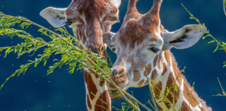 teddy-b.ch - Giraffen Zoo Zürich