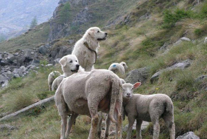 teddy-b.ch - Herdenschutzhunde
